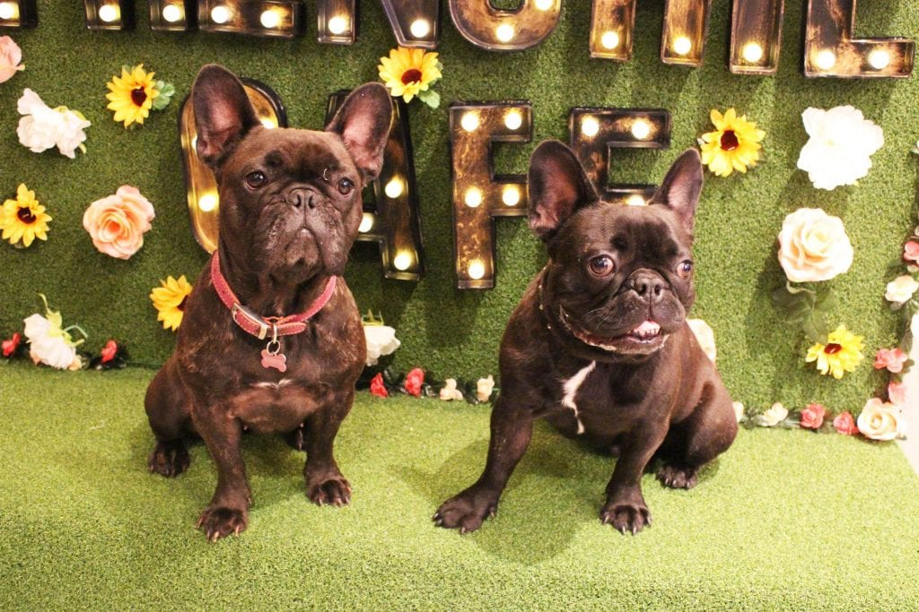 French Bulldogs fans rejoice! The Frenchie Cafe is coming to Manchester
